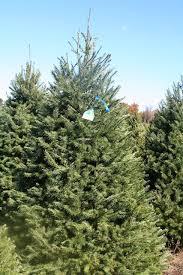 douglas fir christmas tree douglas fir