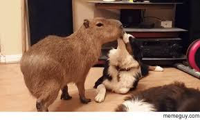Rodent Meme - capybara its the largest member of the rodent family meme guy