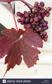 foliage and fruit of the purple leaved ornamental grape vine