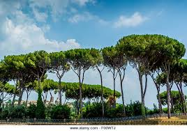 pine trees rome italy stock photos pine trees rome italy stock
