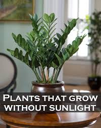 plants that don t need sunlight to grow plants that grow without sunlight green leaf tips