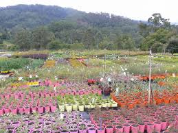 australian native plants brisbane gondwana wholesale native plant nursery australia