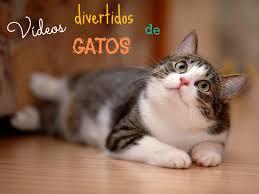 imagenes graciosas videos vídeos graciosos de gatos todo mascotas