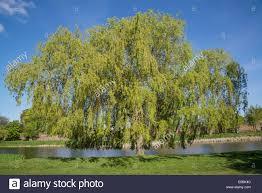 weeping willow tree home park hton wick kingston surrey uk
