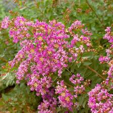 Shrub With Fragrant Purple Flowers - best flowering shrubs for hedges