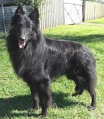 belgian shepherd x border collie breed rescue