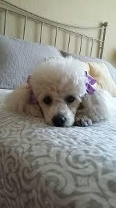 Gingerdoodle by 561 Best Poodles Images On Pinterest Standard Poodles Toy