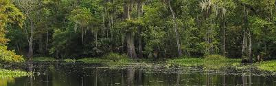 Louisiana forest images Louisiana obituaries jpg