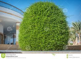 beautiful ornamental bush on the hotel stock image image 52235785