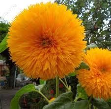 teddy sunflowers teddy sunflower seed stem sunflower indoor
