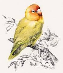 gallery colored pencil birds drawing art gallery