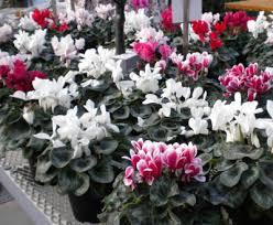 All Year Flowering Shrubs - valentine u0027s day flowers flowering plants gifts the old farmer u0027s
