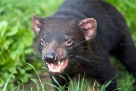 8 fiendish facts about tasmanian devils mental floss