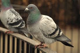 home remedies how to get rid of pigeons house chores and craft