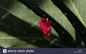 Red Ginger Flower - red ginger flower stock photos u0026 red ginger flower stock images