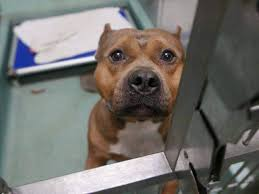 american pitbull terrier illegal what our wrongful stereotypes about pit bulls have to do with this