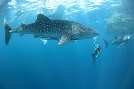 27 Meters In Feet Top 6 Largest Fish Species Our Planet