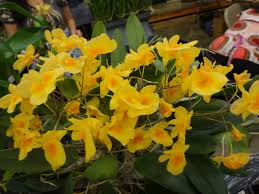 cattleya orchids simple solutions for planet earth and humanity honohono and
