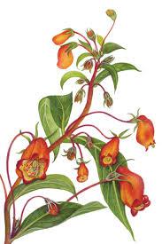 irish native plants heritage irish plants archives irish garden plant society