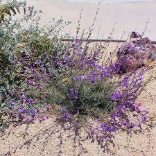 los angeles native plants blog u2013 back to natives restoration