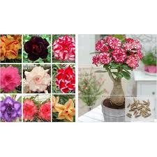 potted flowers 100 true desert seeds ornamental plants balcony bonsai