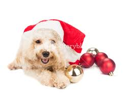 smiling poodle dog in santa costume posing with christmas