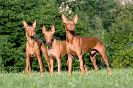 afghan hound good and bad pharaoh hound dog breed information pictures characteristics
