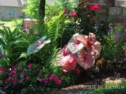 24 best caladium images on pinterest plants shade plants and