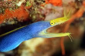 Seeking Eel The Blue Ribbon Eel Rhinomuraena Quaesita Reefedition