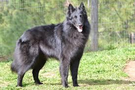 belgian sheepdog available home girls