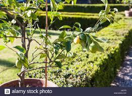 ornamental lemon tree stock photos ornamental lemon tree stock