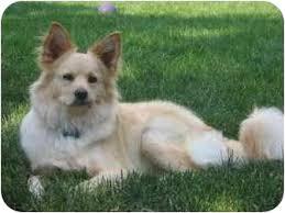 american eskimo dog short hair louie adopted dog sonal raritan nj american eskimo dog