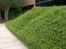 Backyard Ground Cover Options 28 Best Ground Covers Images On Pinterest Ground Covering