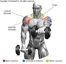 Front Of The Shoulder - shoulders front dumbbell raise with optimal health often comes