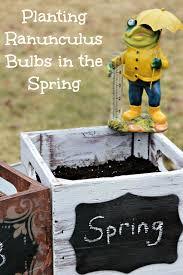 ranunculus bulbs in the spring