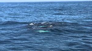 Whale Watches Cape Cod - hyannis whale watching cape cod youtube
