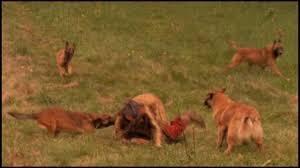 belgian malinois k9 attack malinois dog actors