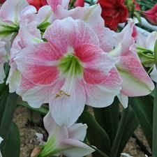 amaryllis rosy star amaryllis pinterest stars
