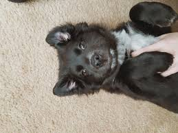 afghan hound collie mix mixed puppies mixedpuppies twitter