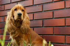imagenes de english cocker spaniel english cocker spaniel information dog breeds at dogthelove