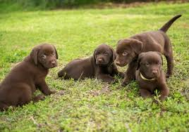 afghan hound and labrador retriever what every puppy owner needs to know about parvo in puppies