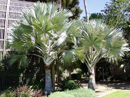 native plants madagascar san diego plant pictures