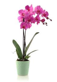 orchid plant how to use horticultural and neem on phalaenopsis orchids