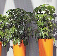 Low Light Flowering Plants by Low Light Level Plants Plantforce Office Plants London