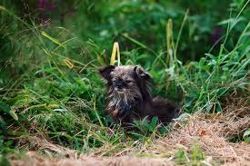 affenpinscher and chihuahua happy tails toby the shih tzu chihuahua mix daily dog tagdaily