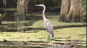 Mississippi wild animals images Grey heron mississippi delta usa sd stock video 340 760 444 jpg
