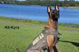 belgian malinois vest chatham sheriff k 9s recieve new body armor savannahnow