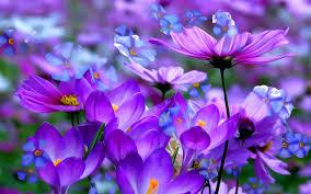 purple flowers lavender purple flowers wallpaper hd desktop background