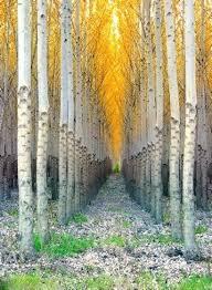 Landscape Inspiration 77 Best Inspiration Landscape Aspen U0026 Birch Trees Images On