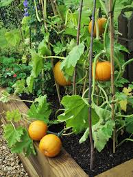 growing pumpkins in a container hmm i might to try this next
